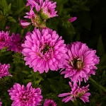 Aster novae-anglie Henry Pink