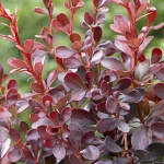 Berberis thunbergii Dart´s Red Lady