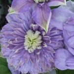 Clematis hybrida Blue Light