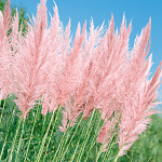 Cortaderia selloana Pink Feather