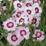 Dianthus plumarius Dixie White Red Bicolor