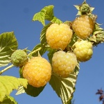 Rubus idaeus Golden Everest