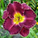 Hemerocallis x Her Majesty´s Wizard