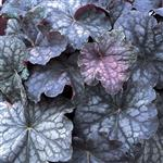 Heuchera villosa Velvet Night