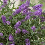 Buddleia davidii Purple Lion