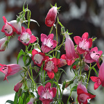 Penstemon mexicale Carillo Red