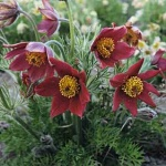 Pulsatila vulgaris Pinwheel Dark Red Shades