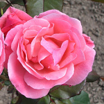 Rosa hybr. (CH)  Queen of Elizabeth