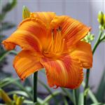Hemerocallis x Rocket City