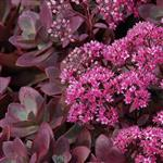 Sedum x Sunsparkler Firecracker