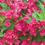 Weigela x hybrida Red Prince