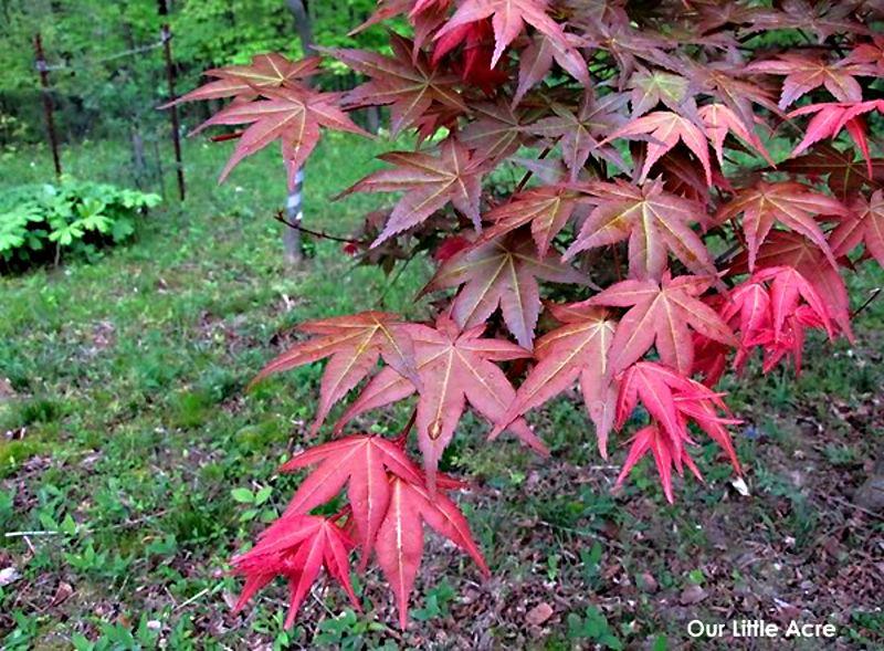 Acer Palmatum Shójó Nomura Listnaté Dřeviny Zahradnictví Franc