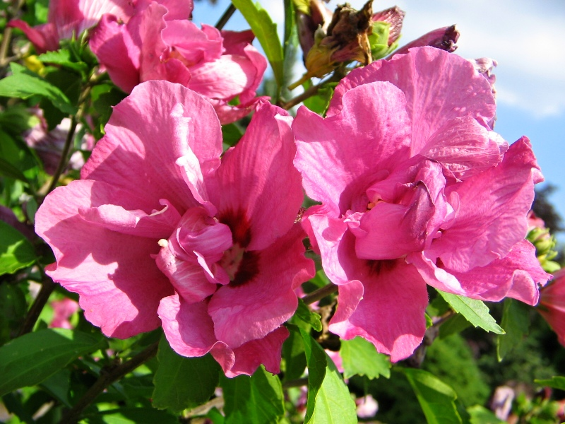 hibiscus syriacus duc de brabant hibiscus ibi ek. Black Bedroom Furniture Sets. Home Design Ideas