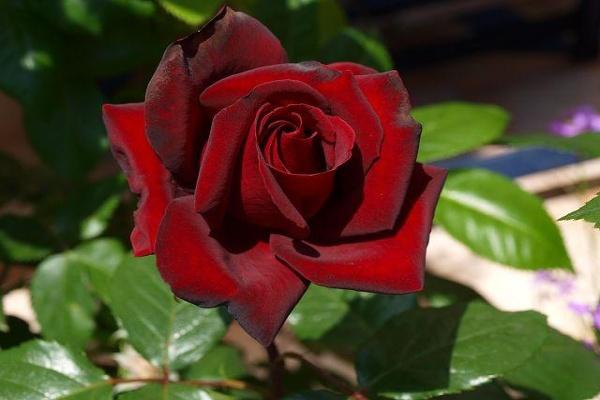 Image result for Rosa Schwarze Madonna